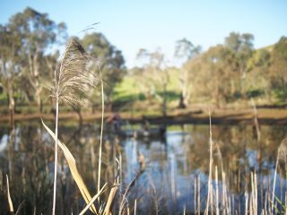 Phragmites at Glenelg River