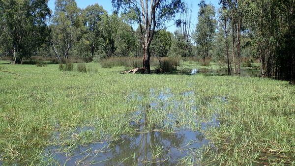 Moira grass and Giant Rush vegetation on the floodplain marshes in Barmah Forest